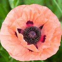 Papaver-Poppy Victoria Cross 2000 Graines