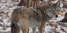 The coywolf, a remarkable new hybrid carnivore that is a mixture of coyote and wolf, is explored.