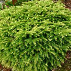Picea abies 'Nidiformis' - Fuglereirsgran