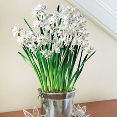 Deluxe Fragrant Holiday Paperwhites:  With their heavenly scent, butterfly-like shape, and ease of growth, Paperwhites are the perfect gift for gardening and non-gardening friends alike! The tin they arrive in is practically bursting with bulbs, and when they bloom on a table it makes quite a dense white display, right at eye level! -- This product is no longer available, however click the image to see this year's Bulb Garden Gift Plants!