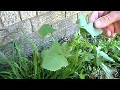 Which weeds to fed your bird - Green Treats for Budgies & Pet Birds are Weeds to Many - YouTube