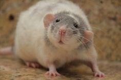 Kara's Rat World: Meet the Rats