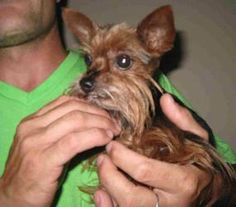 Maddie is an adoptable Yorkshire Terrier Yorkie Dog in Camden, MO. Maddie is a sweet little girl. She's not happy about leaving her home - she's nervous and upset. She's looking for a forever home whe...