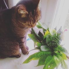 so nice to live in a house full of plants. This cactus-style plant with it's sweet smell and strong pointy leaves is a favourite of mine. 'wonderful for scratching my nose on too! Small Cat, Cool Cats, Cat Day, Finland, Cats Of Instagram, Cat Lovers, Cactus, Photographs, Plant