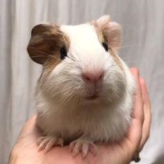 Baby Guinea Pigs, Baby Pigs, Guinea Pig Funny, Baby Bunnies, Cute Little Animals, Cute Funny Animals, Guniea Pig, Cute Piggies, Cute Hamsters
