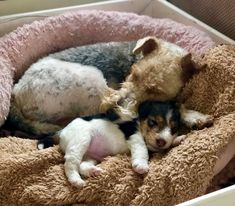 Fox Terriers, Wirehaired Fox Terrier, Wire Fox Terrier, Cute Dogs And Puppies, Doggies, Pillos, Sleeping Animals, Cute Dog Pictures, Cute Creatures