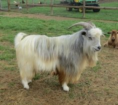 30 Best Miniature Silky Fainting Goats images in 2019 | Fainting