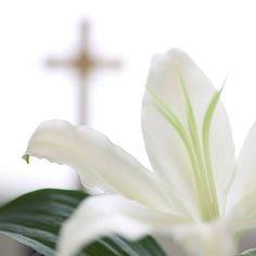 Image from http://preshouse.org/wp-content/uploads/2014/04/easter-lily1.jpg.