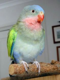 Princess parrot. - SUCH A LITTLE SWEETHEART!! - SO PRETTY!!