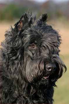 Bouvier des Flandres dog art portraits, photographs, information and just plain fun.