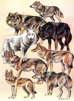 Animal Print - Japanese Wolf, Tundra Wolf, Mongolian Wolf, Coyote, Jackal - 1968 Vintage Print - Mammals from Encyclopedia: