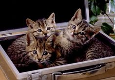 Cats And Kittens, Cute Cats, Animals, Cats, Pretty Cats, Animales, Animaux, Animal, Animais