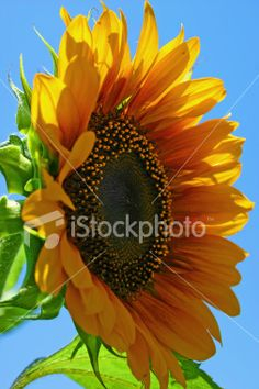 Yellow orange hybrid Sunflower