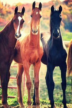 American saddlebred  young