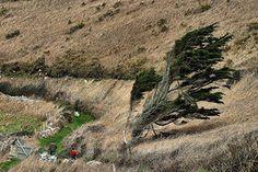 """""""D""""où vient le vent"""". Sur le Sentier des Douaniers, dans le Cotentin, le vent marin """"brûle"""" de son haleine salée la végétation qui lutte pour sa vie. L'arbre tente de s'éloigner en vain, s'étirant le plus qu'il peut dans la direction opposée à la mer."""