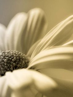 daisy closeup, soft background