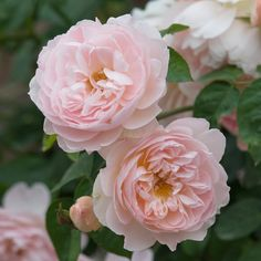 Gentle Hermione. David Austin shrub rose.  Highly fragrant.  Very disease-resistant.  Cup shaped blossoms.  Zones 4-10. 4ft tall, 3ft wide.  Out of stock.