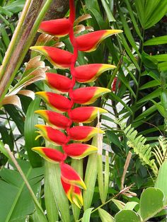 Parrot's Beak Heliconia by Hawai'i Naturalist, via Flickr