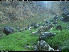 Snow Leopard Shenanigans in the Gobi