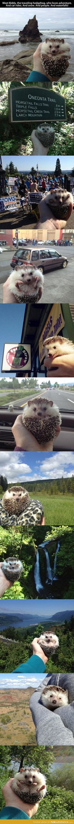 Adventurous hedgehog <---I love when people think this is just a hedgehog.