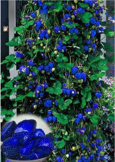 500pcs/bag blue strawberry seeds,climbing strawberry seeds,tree strawberry,organic fruit seeds,for home garden planting