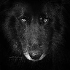 Wolf(Cub)  #dog #belgianshepherd