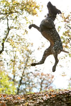 German Shorthaired Pointer jumping in the air.