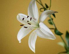 Giglio (Lilium) - Significa Regalità