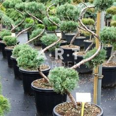 Juniperus virg Grey Owl taille 80/+ contenair 25L