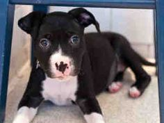 GOBO is an adoptable Pit Bull Terrier Dog in Urbana, IL.  ...