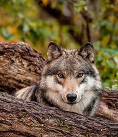 "beautiful-wildlife: ""Wolf Portrait by © oldwolfphotography """