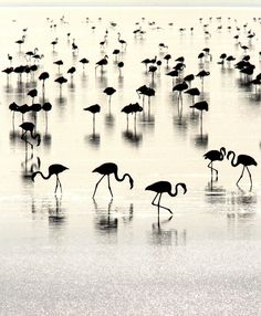 flamingos in silhouette Beautiful Birds, Beautiful World, Beautiful Pictures, Simply Beautiful, Black White Photos, Black And White Photography, Foto Flamingo, White Flamingo, Fotografie Portraits
