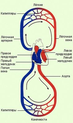 Brain Anatomy, Human Anatomy, Learn Russian, Medical School, Science And Nature, Things To Know, Chemistry, Massage, Medicine