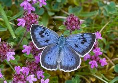 Butterfly winners and losers over the past 50 years: How the Adonis Blue and Purple Emperor are making a comeback. but the Duke of Burgundy faces extinction The Duke Of Burgundy, Butterfly Species, Butterfly Pictures, British Wildlife, Summer Sky, White Butterfly, Butterfly Flowers, Beautiful Butterflies, Natural World