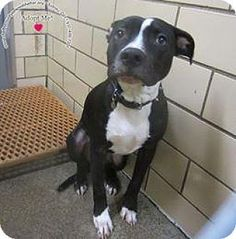 Sidney, OH - Labrador Retriever/Pit Bull Terrier Mix. Meet Leo, a dog for adoption. http://www.adoptapet.com/pet/17636519-sidney-ohio-labrador-retriever-mix