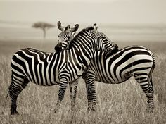Photo: A pair of zebras in Kenya