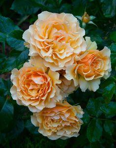 'Amber Queen' | Floribunda Rose. Harkness, 1983 | Flickr - © Four Seasons Garden