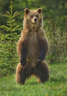 Google Image Result for http://www.pentaxforums.com/gallery/images/3063/1_Sub_Adult_Grizzly_Bear_standing.jpg