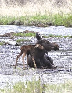 This newborn moose calf was born yesterday shortly before I shot the photo. Lamar Valley - Yellowstone June 2013