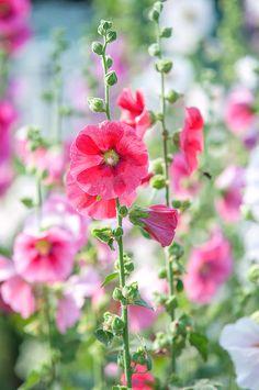 Growing Hollyhocks, Hollyhocks Flowers, Rose Flower Pictures, Late Summer Flowers, Spring Flowers, Flower Chart, Beautiful Flowers Wallpapers, Beautiful Artwork, Types Of Flowers