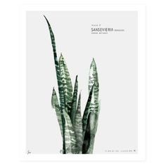 Urban Botanic Plate 2 Sansevieria Limited Edition Art Print - 50 x 70cm: Botanic Urban // Plate 2 (sansevieria) limited edition art print. Watercolor painting printed on 250 g. fine art photo paper. Limited edition of 500. Signed by artist with handwritten numbering. The art print is sold unframed (carefully packed and shipped in a cardboard tube).