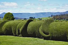 The elephant hedge is Old Wesleydale's best-known feature. Open Gardens occasionally, find farm near Mole Creek, Tasmania. http://www.oldwesleydaleheritage.com
