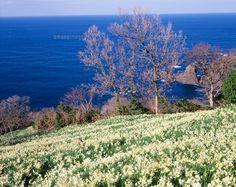 水仙咲く越前岬[25234013198]| 写真素材・ストックフォト・イラスト素材|アマナイメージズ