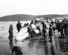 Virtually every part of the whale was used. The oil, blubber, and flesh were eaten, sinews were used for ropes, cords and bowstrings, and the stomach and intestines were dried and inflated to hold oil. Even the bones were occasionally used in house construction.