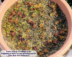 Step-by-step instructions on how to grow Venus Fly Traps from seed.