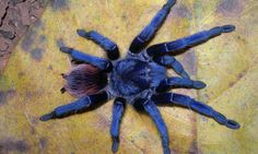 A new species of iridescent blue tarantula has been discovered by zoologists in remote and mountainous areas of Brazil