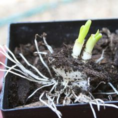 Growing onions from discarded onion bottoms.