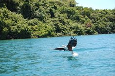 File:Lake Malawi fish eagle.jpg
