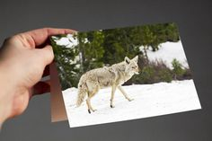 Coyote I  One of my best selling prints in greeting card form! Excellent for the outdoor enthusiast in your life.  Available in multiple pack amounts, this card is 4x5.5, printed on archival, fine art Art Matte cardstock, very soft and smooth; a true experience to open. Each card is blank on the inside, and comes with white envelopes. A standard stamp will work to mail for this size card in the USA.  Make sure to explore my shop - I have many cards available, perfect for all occasions. Think…