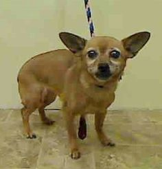 SAFE - 04/04/15 by A New Beginning Animal Rescue --- TO BE DESTROYED - 04/01/15 SUPER URGENT 3/24/15 Manhattan Center   TOBY - A1031070   FEMALE, TAN / BROWN, CHIHUAHUA SH, 12 yrs STRAY - ONHOLDHERE, HOLD FOR EVICTION Reason OWN EVICT  Intake condition GERIATRIC Intake Date 03/23/2015 https://www.facebook.com/Urgentdeathrowdogs/photos/pb.152876678058553.-2207520000.1427415397./982453681767511/?type=3&theater ++++++++CAME IN WITH A CAT++++++++